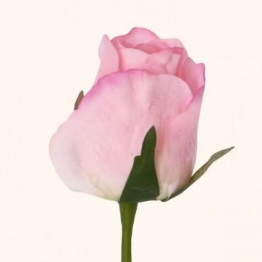 تک شاخه گل رز باکارا لمسی تولیپ در چهار رنگ مختلف